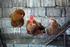 Brandhahn und Hühner Stockfotografie