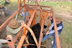 Branding cow. Cow been held to be branded with hot iron rod. Image taken at a family ranch in Leon Mexico stock images