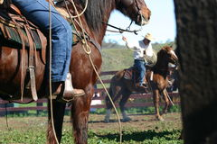 Branding day. Horses and cowboys in the branding pen roping Stock Images