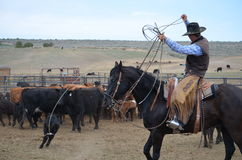 Branding day with an American Cowboy. Cowboy on horse roping at a branding. Has a calf caught by two feet stock photography