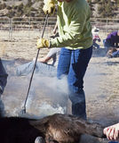 Branding irons and calves. The calf is branded by a red hot iron that was heated over amber coals stock images
