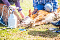 Branding newly born calves on the farm. By cowboys stock images