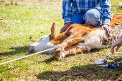 Branding newly born calves on the farm. By cowboys royalty free stock photo