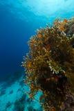 Brandkoraal en het aquatische leven in het Rode Overzees royalty-vrije stock foto's