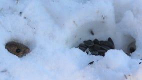 Brandmaus Apodemus agrarius schleppt Sonnenblumensamen im Loch stock video footage