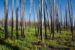 brandskogpånyttfödelse arkivfoto