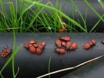 Brandstifter in ihrem natürlichen Lebensraum - Pyrrhocoris-apterus lizenzfreies stockfoto