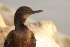 Brandt's Cormorant Along Ocean Royalty Free Stock Image