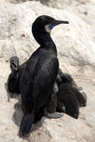 Brandt's cormorants Royalty Free Stock Photos