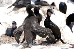 Brandt's cormorants Stock Image