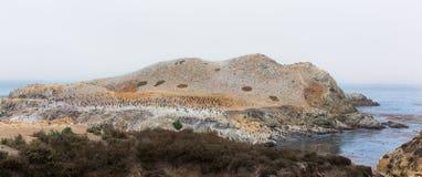 Brandt's Cormorants at Point Lobos Stock Photo