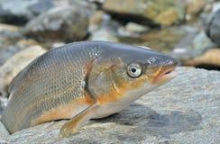 Brandti 7 del Leuciscus de los pescados Imagen de archivo