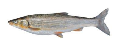 Brandti 10 del Leuciscus del pesce Immagini Stock Libere da Diritti