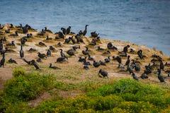 Brandts Lobos för punkt för penicillatus för kormoranPhalacrocorax fågel arkivfoton