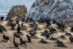 Brandts Lobos för punkt för penicillatus för kormoranPhalacrocorax fågel royaltyfri fotografi