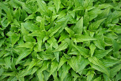 Brandy mint Royalty Free Stock Photo