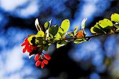 Branelli rossi Immagini Stock