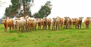 Brangus Steers. Large heard of Brangus beef steers on a small ranch in the Umpqua Valley in Oregon stock images