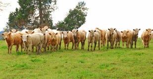 Brangus Steers Stock Images