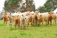 Brangus Steers. Large heard of Brangus beef steers on a small ranch in the Umpqua Valley in Oregon royalty free stock photo