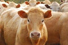 Brangus Steers Stock Image