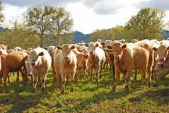 Brangus Steers Stock Photos