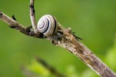 branhc蜗牛 库存图片
