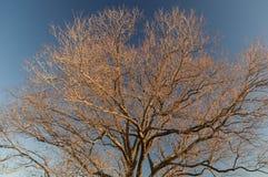 树Brannches 库存照片