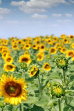 Bransch för solrosfältjordbruk Royaltyfri Fotografi