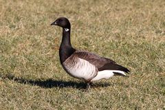 Brant (Branta bernicla) on a grassy field Royalty Free Stock Images