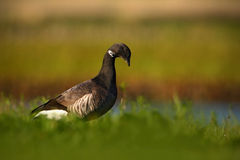 Brant or Brent Goose, Branta bernicla, black and white bird in the water, animal in the nature grass habitat, France Royalty Free Stock Photos