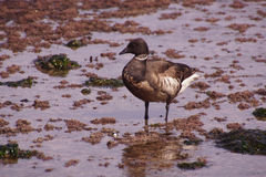 Brant or Brent Goose (Branta bernicla) Royalty Free Stock Photography