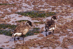 Brant or Brent Goose (Branta bernicla) Royalty Free Stock Photos