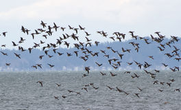Brant Royalty Free Stock Images