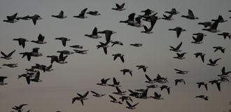 Brant-Gänse im Flug Stockfotos