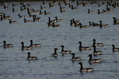 Brant geese Royalty Free Stock Image