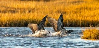 Brant Geese die een zachte landing maken royalty-vrije stock afbeelding