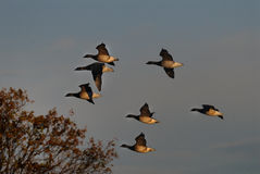 Brant (geese) flying Stock Photo