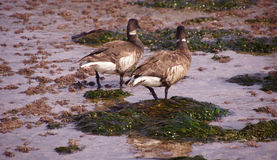 Brant Geese pair wading in tide pool. Brant or Brent Goose (Branta bernicla) pair wading in tide pools at low tide  near Otter Rock, Oregon coast Stock Image