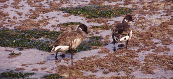 Brant Geese pair wading in tide pool Stock Photography