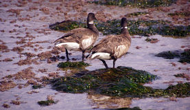 Brant Geese pair wading in tide pool. Brant or Brent Goose (Branta bernicla) pair wading in tide pools at low tide  near Otter Rock, Oregon coast Royalty Free Stock Photos