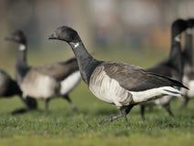 Brant goose Stock Photo