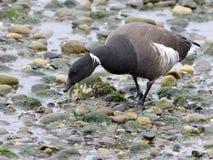 Brant Goose Feeding auf dem Strand Stockbilder