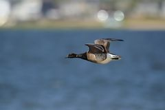 Brant goose in flight. Brant goose  flying over the Atlantic ocean near Jones Beach NY Royalty Free Stock Photos