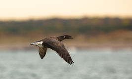 Brant Goose in flight. A Brant Goose, (Branta bernicla) one of the smaller species of geese, flies over the baltic sea in Lithuania Royalty Free Stock Photos