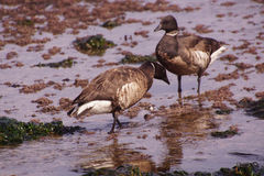 Brant  Goose pair wading Stock Photo