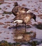 Brant  Goose pair wading Stock Image