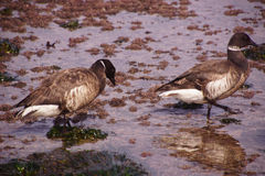 Brant  Goose pair wading Stock Photos