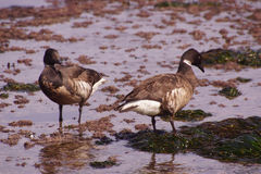 Brant  Goose pair wading Stock Photography