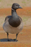 Brant Goose Stock Photo